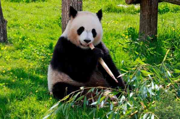 Miért lett vegetáriánus a panda? - powerpointakademia.hu